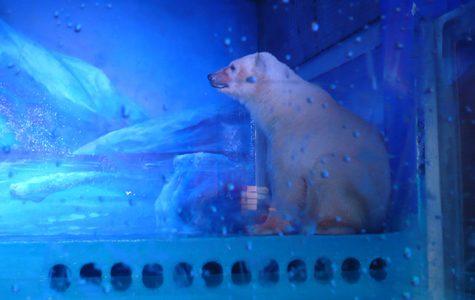World's Saddest Polar Bear. A fake habitat equals real depression even in animals.