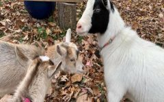 Clara, as the senior goat, is sometimes taken aback by the behavior of the youngsters.